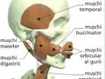 Digestia – Corpul Uman Functiile corpului la om