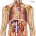 Anatomie – Corpul Uman