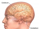 Structura interna a cerebelului