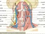 Imagini Gat – anatomia gatului