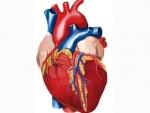 Inima – Corpul omenesc organe interne