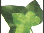 Alifie cu efect anticelulitic – Tratamente Naturiste