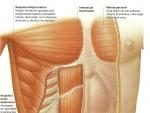 Muşchii mai profunzi ai peretelui abdominal – Corpul Uman