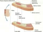 Peretele abdominal – Muschii Abdomenului – Corpul Uman