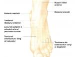 Anatomia piciorului la omul viu