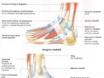 Muschii regiunii superioare a piciorului