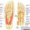 Arterele labei piciorului