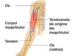 Tipuri de musculatură