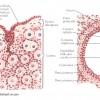 Ovarul – structura ovarului