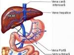 Ficatul – organ intern al corpului uman
