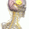 Sistemul nervos vegetativ – componentele si fiziologia sa