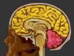 Diencefalul (creierul intermediar)