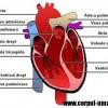 Inima – structura interna si structura externa