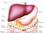Tractul digestiv inferior
