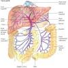 Circuitul sanguin sistemic