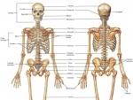 Scheletul uman – parti componente