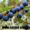Cum iti protejeaza sistemul imunitar vinul rosu si afinele