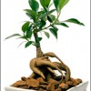 Ginsengul, radacina longevitatii