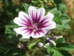 Nalba, planta care trateaza ranile