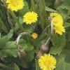 Podbalul, planta care se foloseste pentru tratarea astmului bronsic