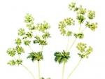 Cretisoara, planta cu efecte benefice impotriva anemiei