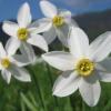 Narcisa galbena, utila pentru a combate afectiunea Alzheimer