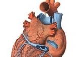 Ruscuta de primavara trateaza problemele cardiace