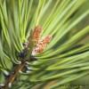 Extractul de pin francez marin si efectele sale asupra corpului tau