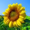 Floarea-soarelui, proprietati si beneficii aduse organismului