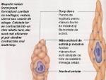 Muschii involuntari