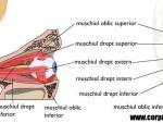 Muschii globului ocular – miscarea ochiului