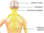 Sistemul nervos – definitii