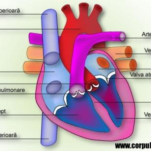 Imagini – Sistemul circulator