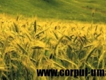 Beneficiile uleiului din germeni de grau