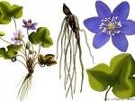 Planta care trateaza afectiunile hepatice