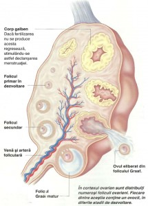 Ovulatia
