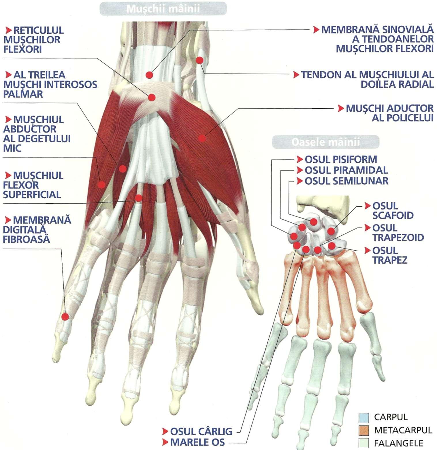 articulatiile piciorului