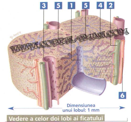 ficatul uman