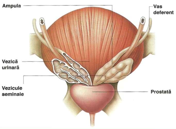 prostata imagini