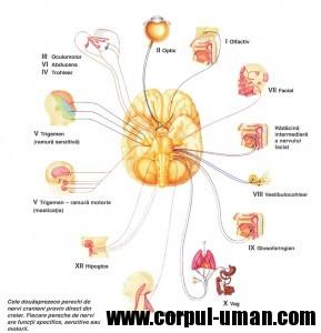 nervii-cranieni