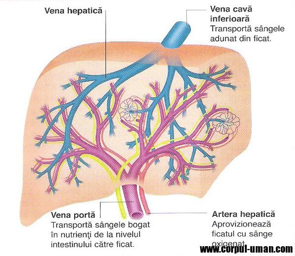 Vena hepatica || Med-koM