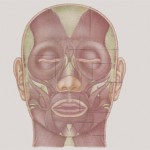 Muschii Faciali