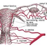 Vascularizatia ovarului