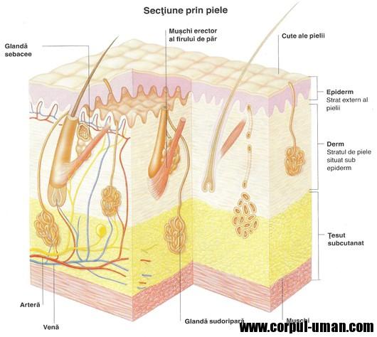 Sectiune piele