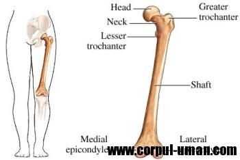 Scheletul corpului uman - Femurul