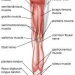 Muschii membrelor inferioare spate