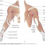 Muschii membrelor superioare