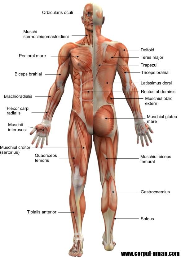 Muschii corpului uman - Imagini detaliate