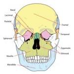 Scheletul corpului uman - Oasele craniene
