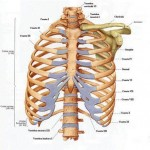 Scheletul corpului uman - Sternul si coastele